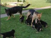 German Shepherd Puppies ALL COLORS