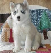 KC Siberian Husky Puppies For Sale