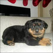 Rottweiler Puppies Ready for that home full of love care and attentio