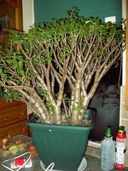 Large Jade Money Tree in Pot near 1m high