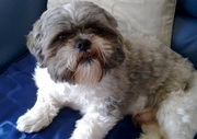 Male Shih Tzu For Stud Only